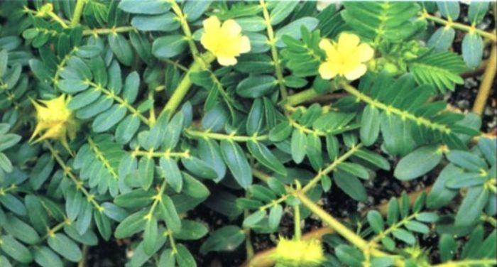 Viagra naturale Tribulus terrestris