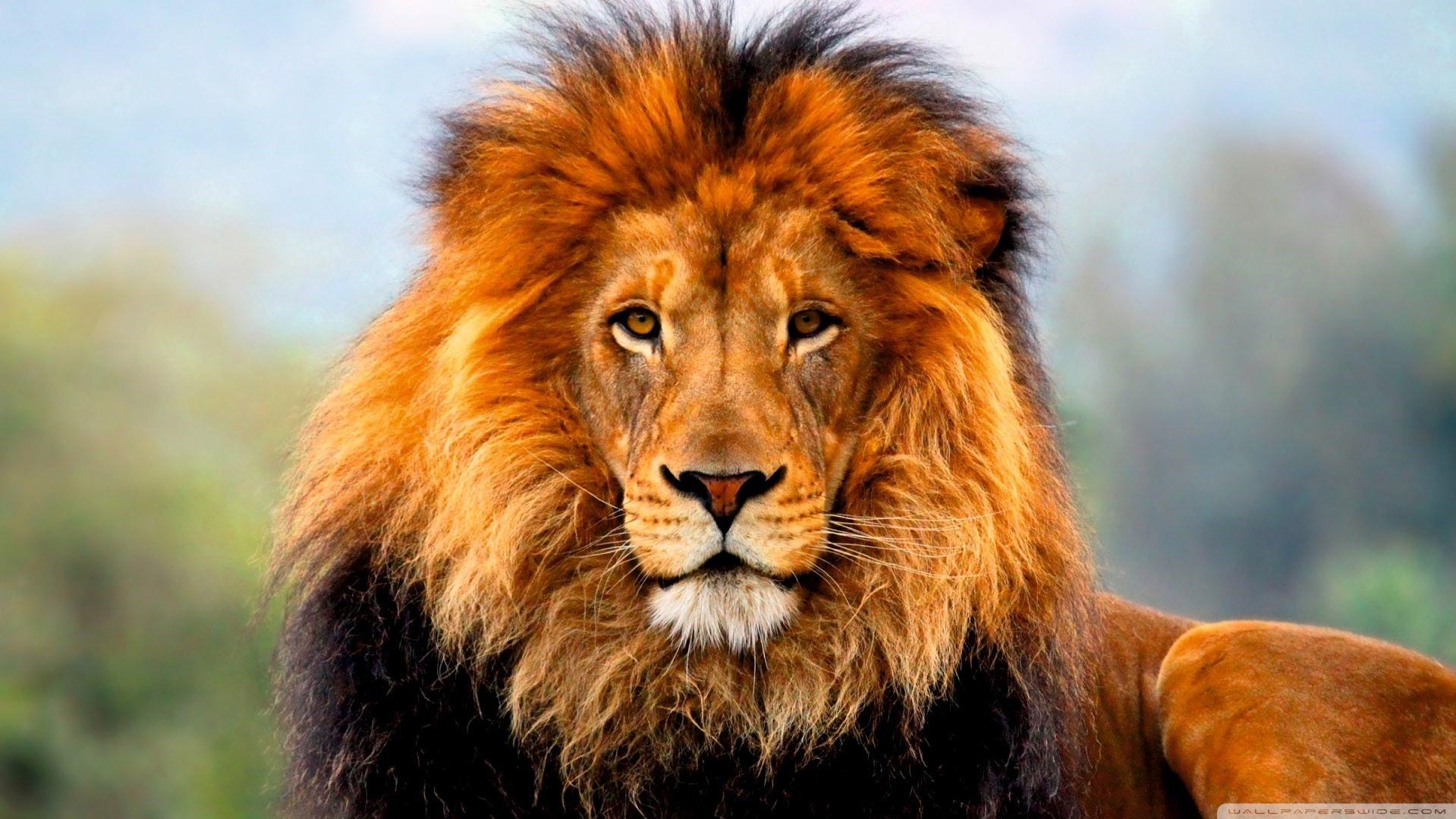 Sfondi desktop in hd gratis da scaricare for Sfondi leone