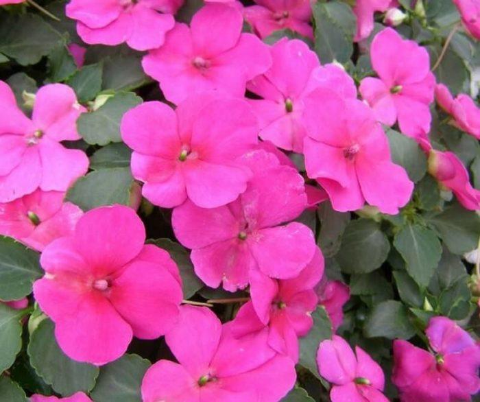 i fiori della balsamina
