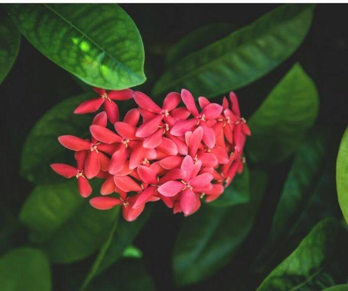 fiori rosa a grappolo