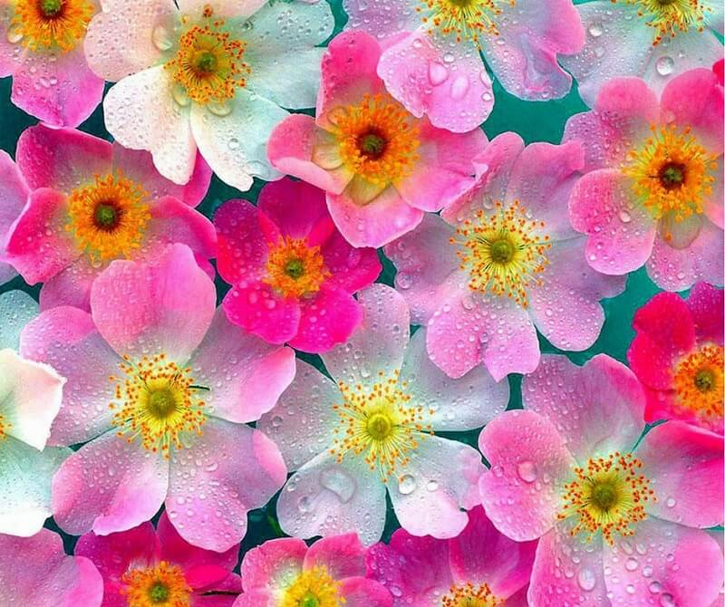 immagini fiori bellissimi