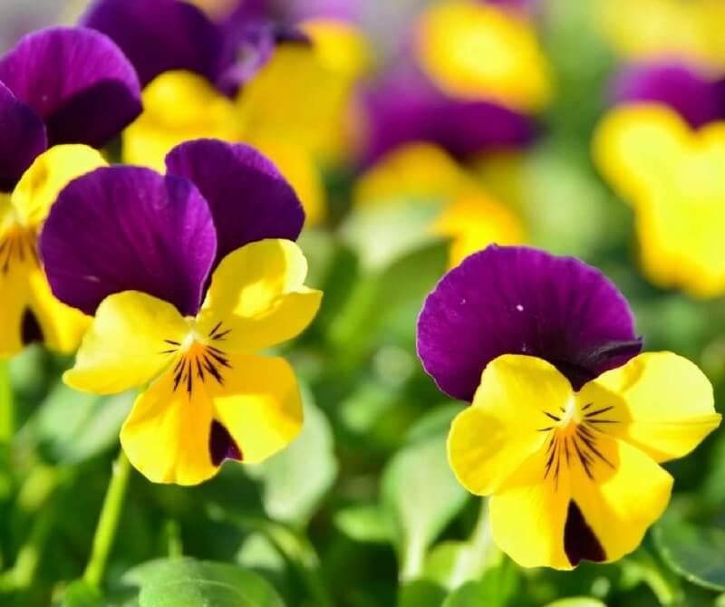 immagini di fiori di campo